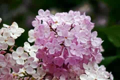 赛芙莱玫瑰紧致焕颜面霜真的有用吗?